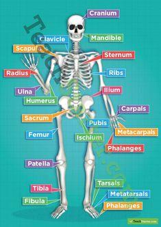 The Human Skeletal System Poster Teaching Resources Teach Starter Human Body Anatomy, Human Anatomy And Physiology, Yoga Anatomy, Nursing School Notes, Musculoskeletal System, Human Body Systems, Human Body Unit, Human Human, Medical Anatomy