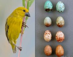 The Cuckoo finch are a brood parasite, which means they do not raise their own young, but rather lay their eggs in the nest of another bird. In order to trick their main hosts, the tawny-flanked prinia, natural selection has resulted in the cuckoo eggs mimicking their host's eggs