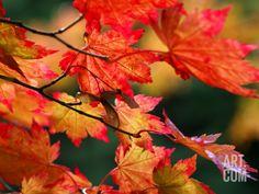 Acer Japonicum Vitifolium (Vine-Leaved Full Moon Maple) Photographic Print by Susie Mccaffrey at Art.com