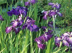 Des #iris #bleus pour l'humidité.