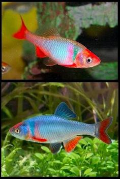 Cyprinella lutrensis #TropicalFishFreshwater