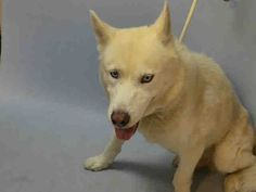 SUPER URGENT Brooklyn Center JACK – A1088724  **NEEDS FOLLOW UP VET CARE**  MALE, CREAM, ALASKAN HUSKY, 5 yrs OWNER SUR – EVALUATE, NO HOLD Reason MOVE2PRIVA Intake condition INJ MINOR Intake Date 09/06/2016, From NY 11374, DueOut Date 09/06/2016,