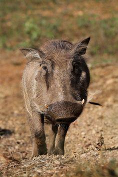 Eden Safari Country House - Warthog Safari, Country, House, Animals, Animales, Rural Area, Home, Animaux, Animal