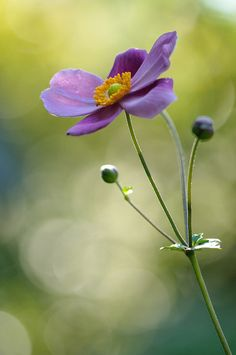 Japanese anemone by myu-myu, via Flickr