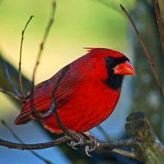 Le fidèle Cardinal rouge des cours de Montréal.