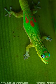 Madagascar day gecko Hawaiian's view them to be guardians & good luck