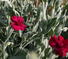 GARDENER'S WORLD ROSE CHAMPION ~ Lychnis coronaria 'Gardener's World' ~ 30-60 cm tall.  Spacing 20-30 cm.  Low rosette of fuzzy silver leaves.  The taller stems hold fluffy double deep blood-red flowers.  Blooms in early to late summer.  Clumps should be divided every other spring.  Plant in full sun in moist well drained soil.