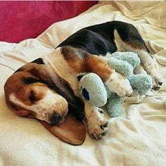 Like my Basset Baby lol gotta have toys Basset Puppies, Hound Puppies, Basset Hound Puppy, Cute Puppies, Cute Dogs, Dogs And Puppies, Beagles, Doggies, Dog Rules