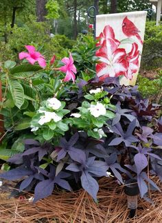 Mandevilla, impatiens, and potato vine.