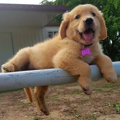So cute! Resting Golden Retriever Pup <3