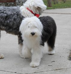 Little Sophie. Old English Sheepdog