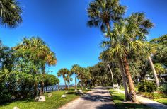 Victoria Street Palm Trees in Dunedin, Florida
