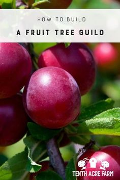 How to Build a Fruit Tree Guild: A fruit tree guild is a permaculture technique for disease-resistant, high-yield gardens. Learn more about this style of growing fruit trees that thrive. #permaculture