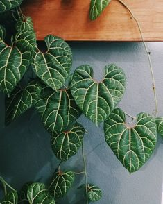 Indoor plant ideas - Aristolochia leuconeura Aristolochia are a genus of climbing plants we don't often come across Indoor Cactus Plants, Rare Plants, Exotic Plants, Outdoor Plants, Tropical Plants, Room Deco, Plants Are Friends, Foliage Plants, Gardens