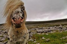 We took the Panorama Road through the Burren, a very big karst-landscape region in Co. Claire, Ireland, in order to get to the Cliffs of Moher. This is one of many ponies that were, along with plenty of sheep, grazing by the street.