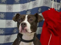 SAFE --- SUPER URGENT 12/06/14 Staten Island Center   My name is HERSHEY aka HEYSUS. My Animal ID # is A1015684. **A private donor has graciously offered to pay $500 to the New Hope partner that pulls HERSHEY ** I am a male black and white pit bull mix. The shelter thinks I am about 1 YEAR   I came in the shelter as a STRAY on 09/28/2014 from NY 10304, owner surrender reason stated was STRAY.    Main Thread: https://www.facebook.com/photo.php?fbid=878054592207421%2F