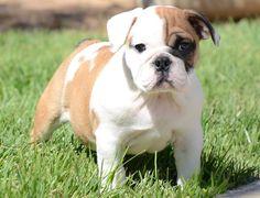 English Bulldog ❤