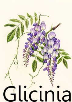 glyzinie//Wisteria color azul-violeta Lluvia azul 10 semillas cosecha 2019