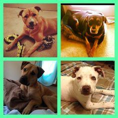 Sweetest dogs!! #Rottweiler mix #Pitbull mix