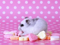 Cute hamsters decorated our pictures. Here are the hamster wall papers. We present you with some lovely 32 hamster backgrounds and information about hamams. Hamster Wallpaper, Hd Wallpaper, Funny Animals, Cute Animals, Small Animals, Baby Animals, Hamster Eating, Pure Fun, Cute Hamsters