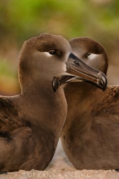 Black-footed albatross pair on Tern Island in the northwest Hawaiian Islands, photo by Frans Lanting Sea Birds, Love Birds, Beautiful Birds, Cute Animal Memes, Cute Animals, List Of Endangered Species, Frans Lanting, Aquatic Birds, Shorebirds