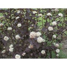 Ved trappen til hytta: (Physocarpus opulifolius 'Diabolo') En frisk och vacker buske,;som blir minst;1,5 m hög. Den har mörkt purpurfärgade blad och tål att beskäras. Blommar med vitrosa blommor i juni. Trivs i all slag jord. En utmärkt kontrastväxt. Smällspirea ska beskäras före knoppsprickning. Lev.storlek 40-50 cm i kruka. SOL. Zon 1-5. PRIS/ 1-PACK Tillväxt : snabb