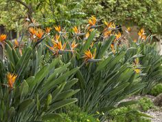 How to Prune a Bird of Paradise Plant Greater Bird Of Paradise, Bird Of Paradise Yoga, Bird Of Paradise Wedding, Birds Of Paradise Plant, Birds Of Paradise Flower, Paradise Garden, Beautiful Flowers Garden, Beautiful Gardens, Front Yard Garden Design