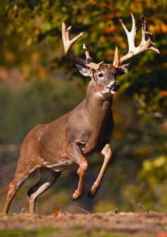 Whitetail Hunting Tips: Three Ways to Drive Deer Early in the Season
