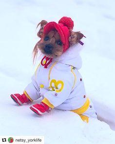 Winter yorkie