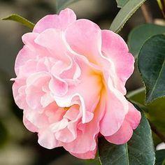 Garden Shrubs, Flowering Shrubs, Garden Plants, Balcony Garden, Shade Garden, Garden Beds, Indoor Plants, Horticulture, Acid Loving Plants