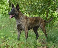Dutch shepherd dog.
