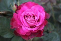 Girls' Night Out Hybrid Tea Rose | Girls' Night Out' Hybrid Tea rose