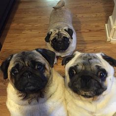 """Just say the word """"TREAT""""... And you got our attention!!  #indie #packer #olive #pug #puglife #pugsofinstagram #likepugs #doglover #dogsofinstagram #petsofinstagram #pugbasement #smilingpugs #thetomcoteshow #funny #family #follow #friends #cute #besties #blessed #instagood #iphoneonly #photo #love #laugh #lifeisgood #whenyougettreats"""