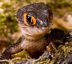 orange eyed crocodile skink