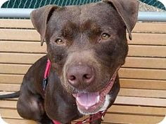 Pictures of *BUZZ a Pit Bull Terrier Mix for adoption in Austin, TX who needs a loving home.
