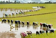 Rice Paddy 2