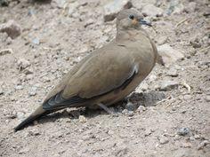 2562. Black-winged Ground-dove (Metriopelia melanoptera) | found in Argentina, Bolivia, Chile, Colombia, Ecuador, and Peru in subtropical or tropical moist montane forests and subtropical or tropical high-altitude shrubland
