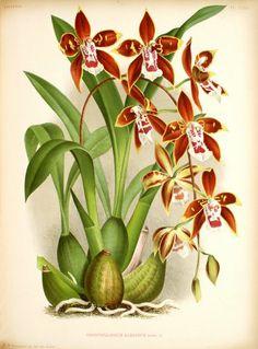 Odontoglossum luteopurpureum Lindl.