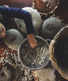 Harvesting sunflower seeds.