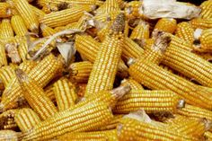Know Maize price trend which may go down due to higher global supply and price trend is also affected by the domestic production. Also know about the US corn production estimation according to US Department of Agriculture (USDA). Also know about the production forecasting in China and European Union. Also get details of Corn export from India.