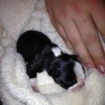 One week old Full Breed BT from Altavista, USA