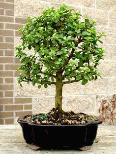 ✿ڿڰۣ(̆̃̃•Aussiegirl dwarf jade Bonsai