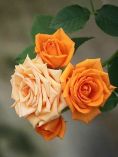 Stunning Photo Editing Work Created on Fotor Online Photo Editor –by Jarlen Angélica Sardeiro on Beautiful Rose Flowers, Flowers Nature, Fresh Flowers, Beautiful Flowers, Orange Roses, Pink Roses, Rosa Rose, Rainbow Roses, Luxury Flowers