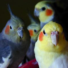 Lovely little cockatiels looking straight at you :)