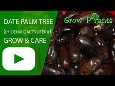 Date palm tree - Learn how to grow Date palm tree, plant information - climate, zone, uses, growth speed, water, light, planting & bloom