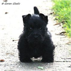 wow...love scotties!