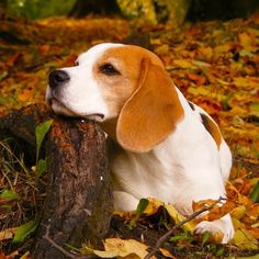 Beagle in Park Beautiful Beagles, Autumn Forests, Beagles Animal ...
