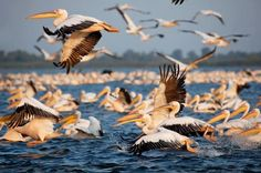 Danube Delta, Romania, world's thirds-richest biosphere reservation in terms of biodiversity, after Australia's Great Barrier Reef and Ecuador's Galapagos Islands is home to most of Europe's populations of Great White Pelican and Dalmatian Pelican, 60% of the world's Pygmy Cormorant and in winter, 50% of the world's Red-breasted Goose. !