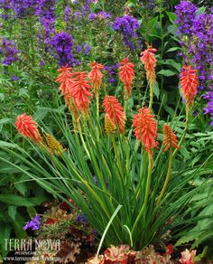 Kniphofia 'Redhot Popsicle' - Lively, cinnamon red flowers on short, compact plants for the smaller garden. Narrow grassy leaves. Free blooming and re-blooming.