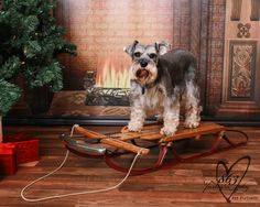 Pet Dog Schnauzer Christmas Portrait by 863furtography
